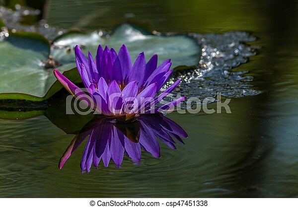 Pink Water Lily in the lake - csp47451338