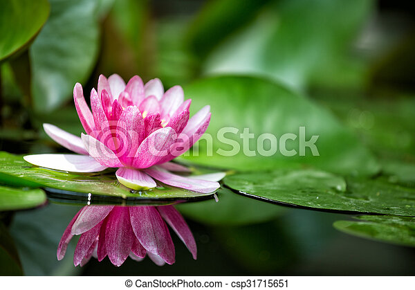 Pink water lily is beautifully reflected in lake water - csp31715651