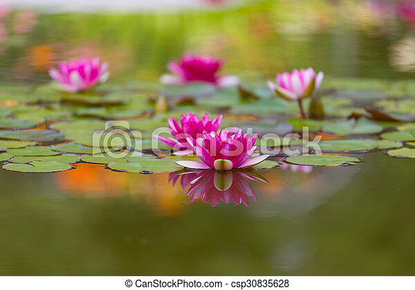 Pink water lily is beautifully reflected in lake water - csp30835628