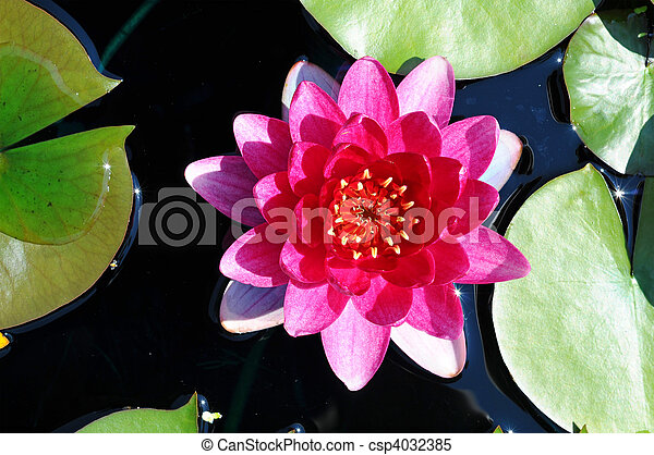 Pink water lily on the lake, in botanical garden - csp4032385