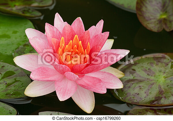 Pink Water Lily  - csp16799260