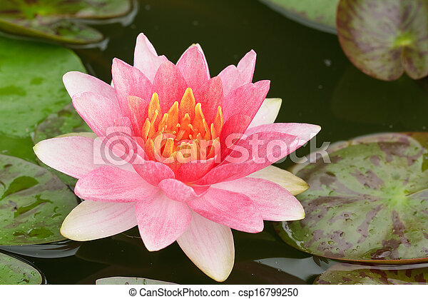 Pink Water Lily  - csp16799250