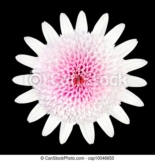 Pink white daisy flower with white petals and large center pink pink white daisy flower with white petals and large center csp10046650 mightylinksfo