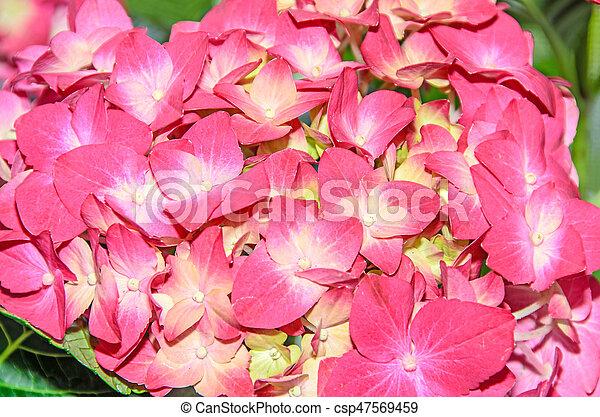 Pink with yellow hydrangea flowers hortensia petals close up bokeh mightylinksfo