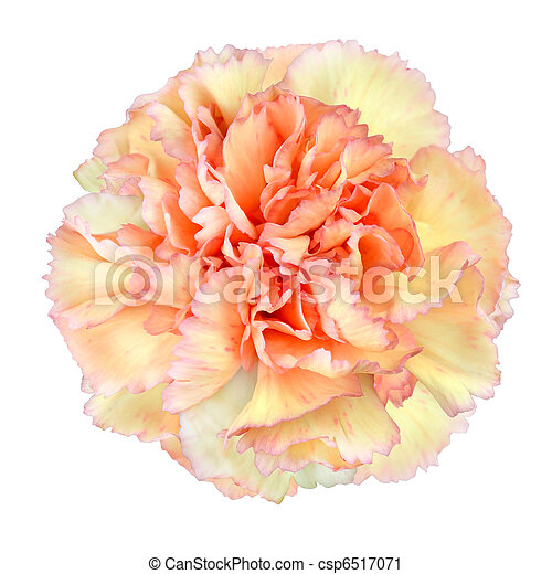 Pink Yellow Carnation Flower Isolated On White Background Closeup