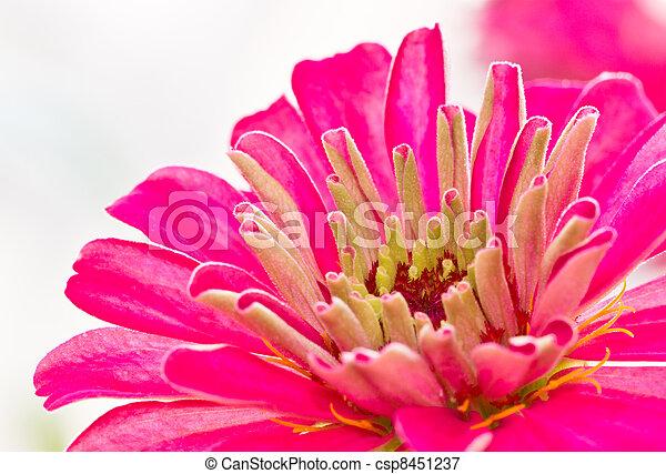 Pink Zinnia flower backgound - csp8451237