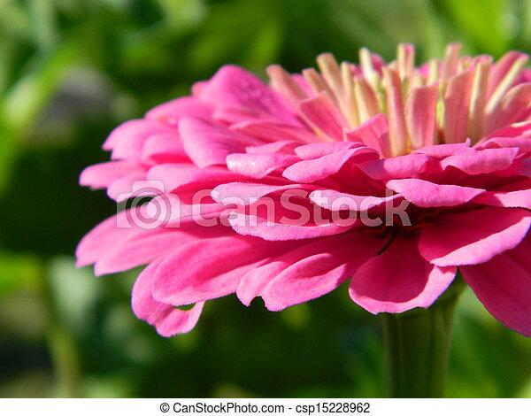 Pink Zinnia Flower Closeup - csp15228962