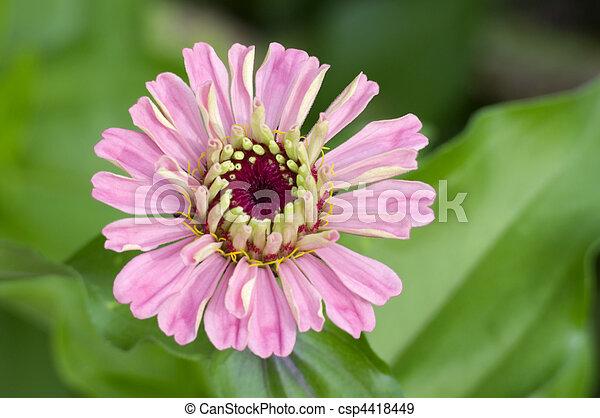 Pink Zinnia Flower Closeup - csp4418449