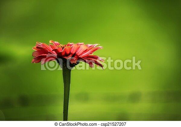 Pink Zinnia Flower Closeup - csp21527207