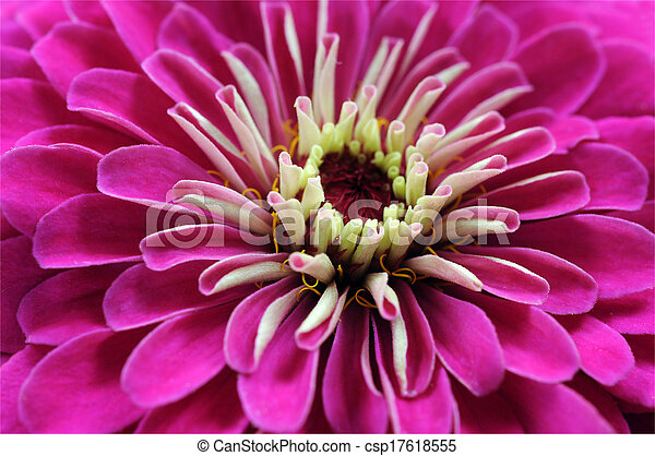 pink zinnia - csp17618555