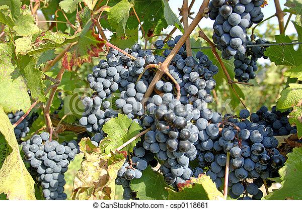 Pinot Noir Grapes 2 - csp0118661