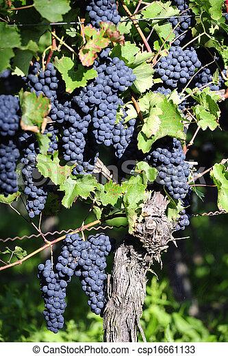 Pinot Noir Grapes in Rheinhessen, Germany - csp16661133