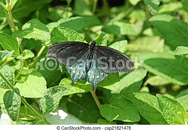 Pipevine Swallowtail Butterfly - csp21821478