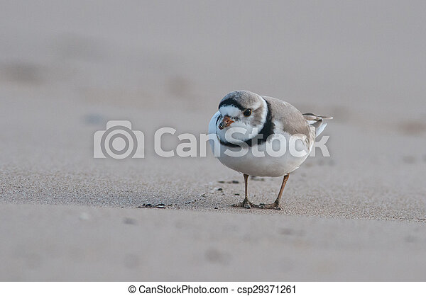 Piping Plover - csp29371261