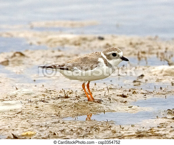 Piping Plover - csp3354752