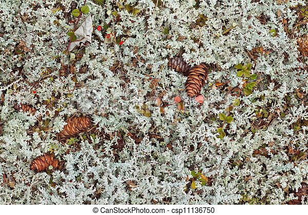 El fondo de los lichenes cubre el suelo del bosque - csp11136750
