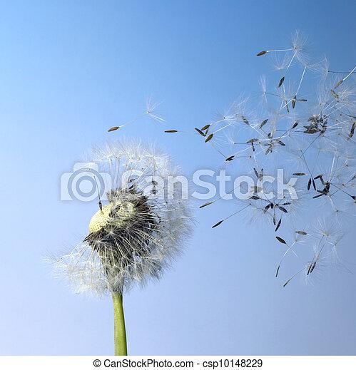 pissenlit, blowball, voler, graines - csp10148229