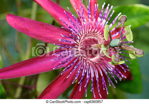 Pistil and stamen of a purple passion flower pistil and stamen of a purple passion flower mightylinksfo