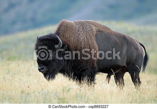 Plains Bison - Alberta, Canada - csp8693227