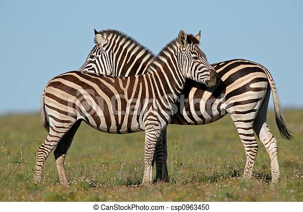 Plains Zebras  - csp0963450