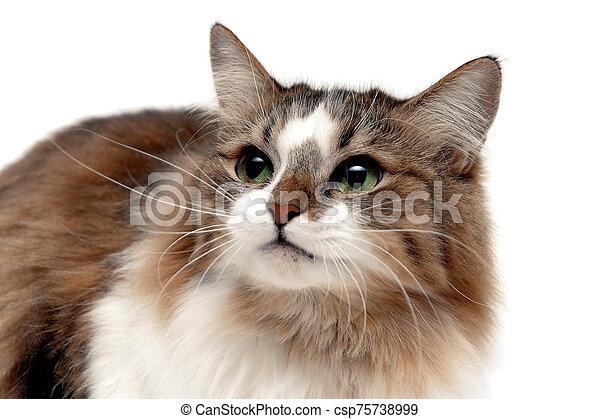 plano de fondo, gato, blanco, primer plano, velloso - csp75738999