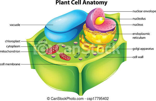 Plant Cell Anatomy Illustration Showing The Plant Cell Anatomy