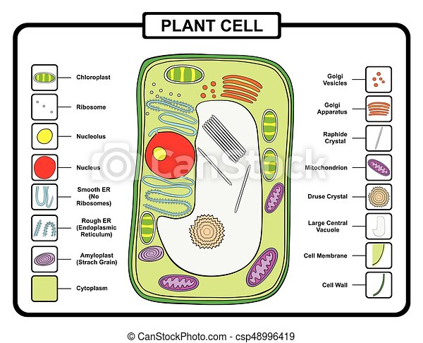 Plant cell structure anatomy with all parts for biology science plant cell structure csp48996419 ccuart Images