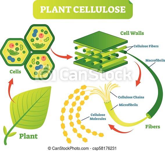 Plant Cellulose Biology Vector Illustration Diagram Plant Cellulose