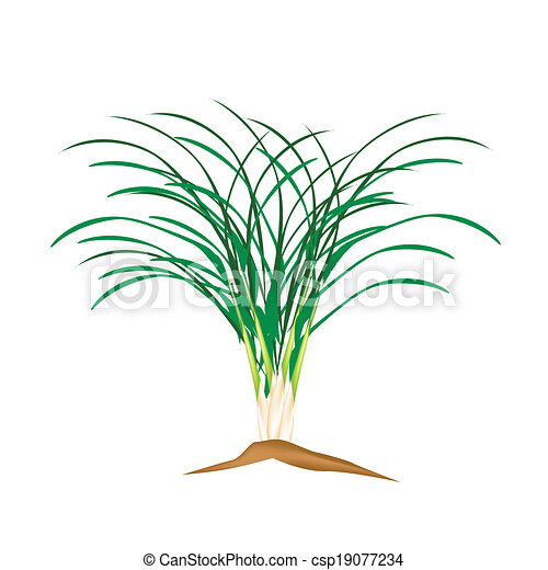 plant, citroen, achtergrond, fris, witte , gras - csp19077234