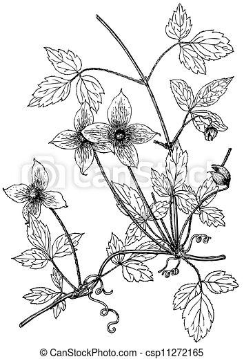 Plant Clematis montana  - csp11272165