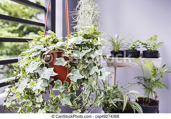 Tuinieren Op Balkon : Plant concept tuin pot engelse thuis klimop balkon