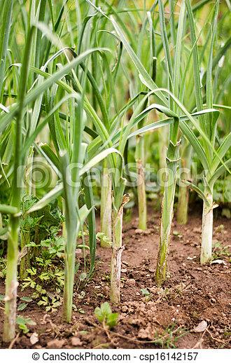 Plant garlic. Field leek - csp16142157