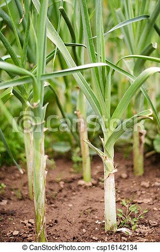 Plant garlic. Field leek - csp16142134
