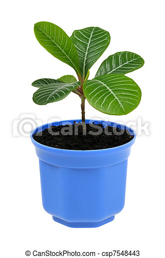 plant in blue pot isolated on white background - csp7548443