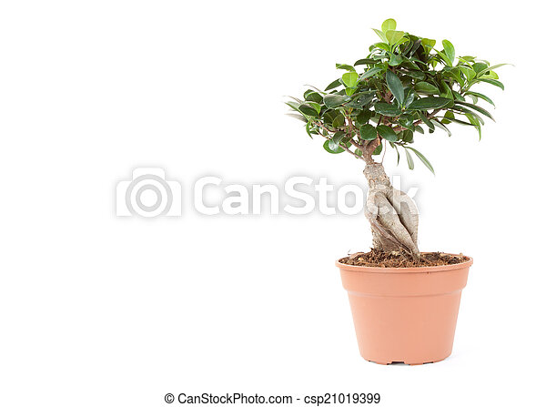 plant in pot isolated on the white backgrounds - csp21019399