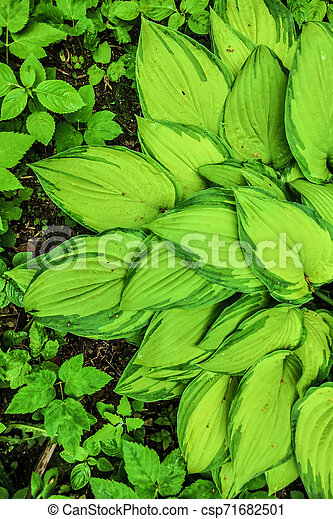 Plant Leaf Texture Large Hosta Foliage Nature Dark Green Background