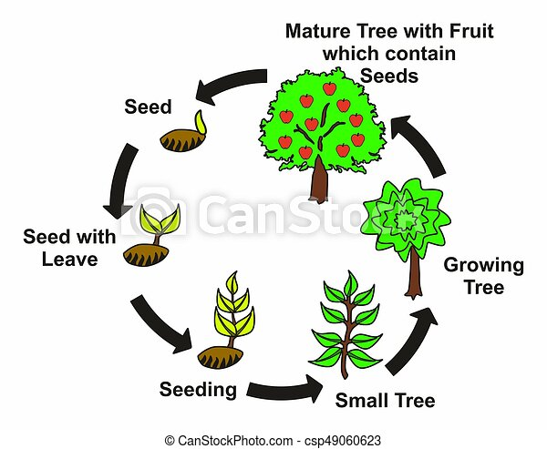 Plant Life Cycle Diagram With All Stages Seed With Leave Seeding