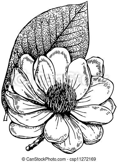 Plant Magnolia campbellii  - csp11272169