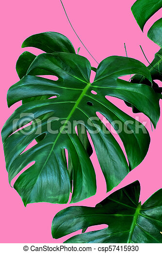Plant Monstera Leaves Pink Background Tropical Leaves Of Monstera Plant On A Pink White Background Canstock Because sometimes it's not easy being green. https www canstockphoto com plant monstera leaves pink background 57415930 html