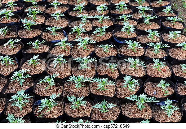 Plant Nursery Of Mexican Marigold Flower With Rice Chaff Mexican
