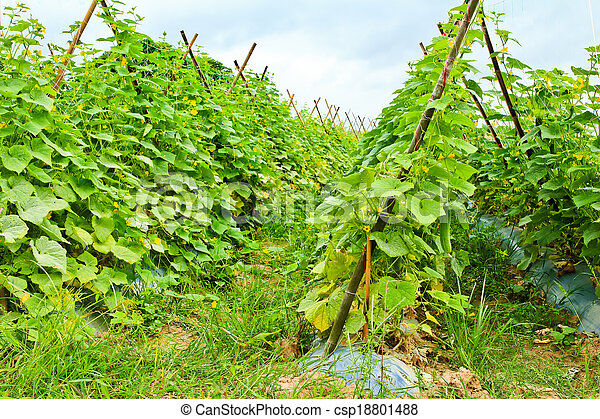 Plant of cucumber in countryside Thailand. - csp18801488