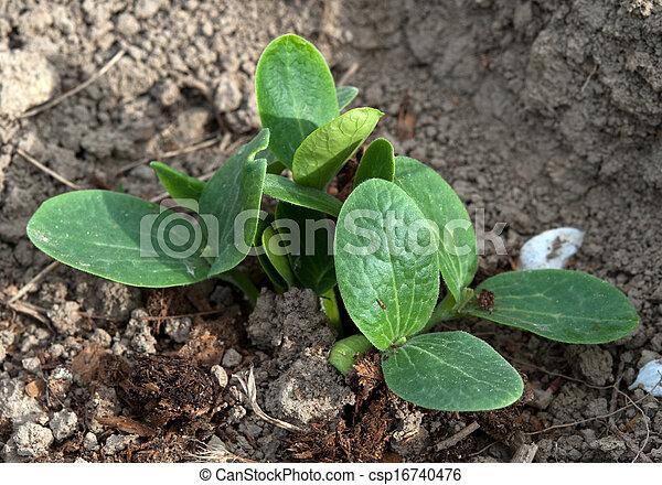 plant of cucumber - csp16740476
