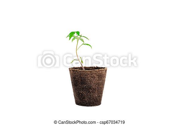 plant of tomato isolated on white - csp67034719