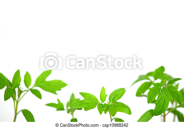 plant of tomato isolated on white - csp10988242