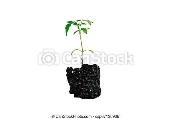 plant of tomato isolated on white - csp67130906