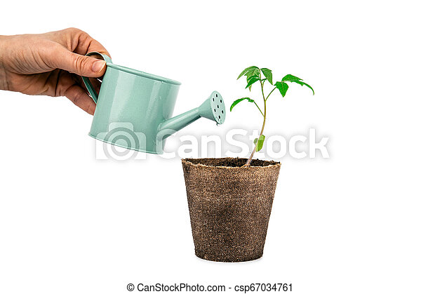 plant of tomato with hand and watering can isolated on white - csp67034761