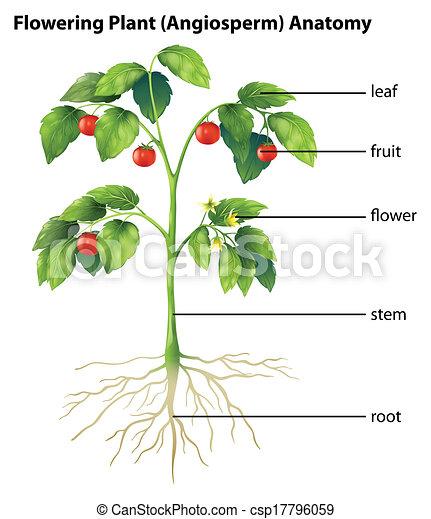 tomaat plant onderdelen het tonen illustratie