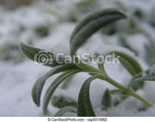 Plant with snow - csp0014862