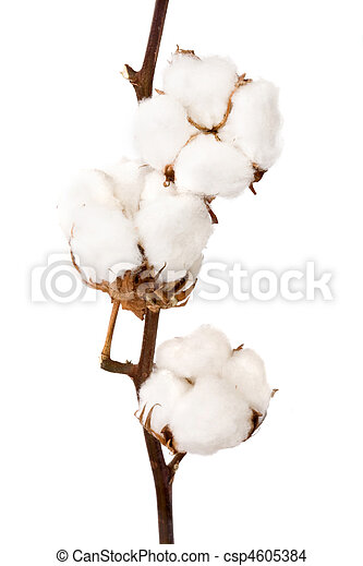 planta, algodão - csp4605384