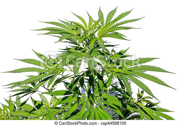 planta, branca, cânhamo, isolado, fundo - csp44598100